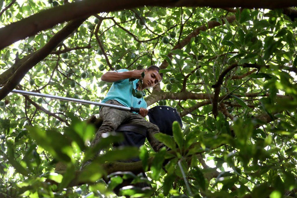 Война мексиканских картелей за контроль над оборотом... авокадо 7